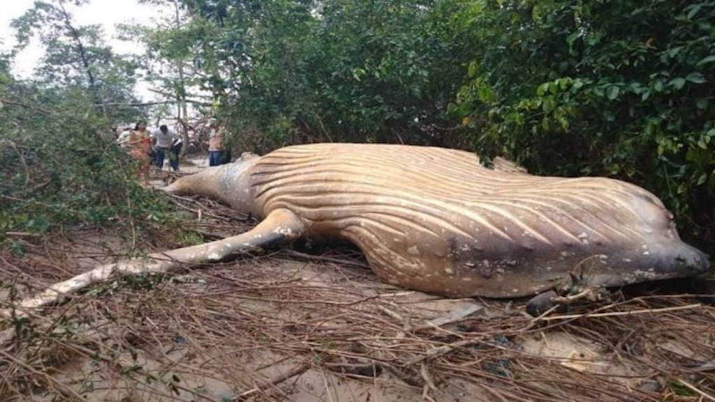 Dead Humpback Whale Found in Amazon Jungle Baffles Scientists