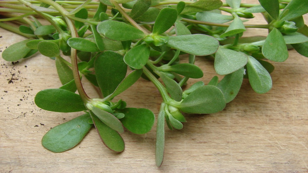 The Herb Purslane Is A Nutritional Powerhouse