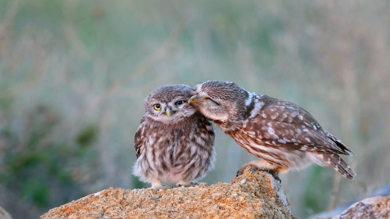 The little owl (Athene noctua) with his chick standing on a stone. (The little owl