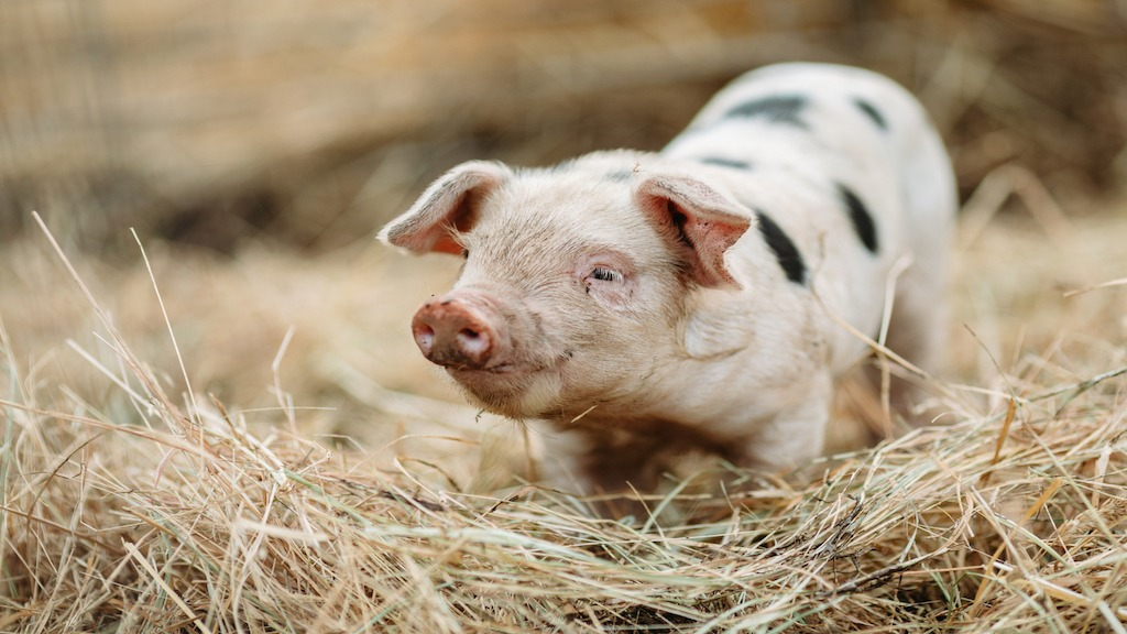 Smarter Than a Fifth Grader; Are Pigs Smarter Than We Think?