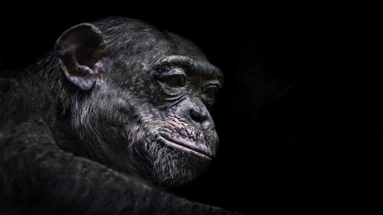 Portrait of chimpanzee against black background