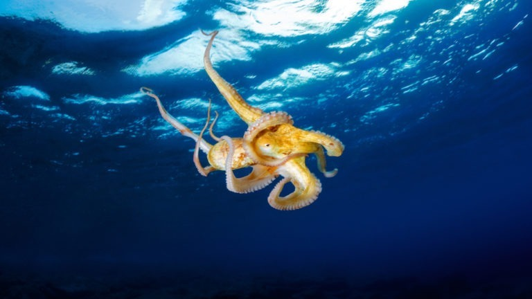 Beautiful octopus in the blue sea.