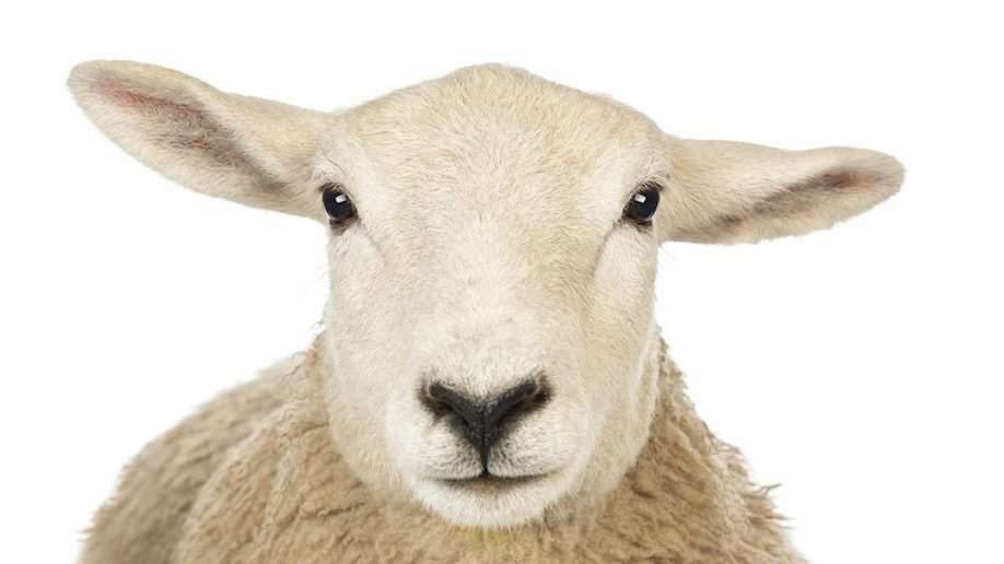 Scientists Create Human-Sheep Hybrid; Are We Playing God?