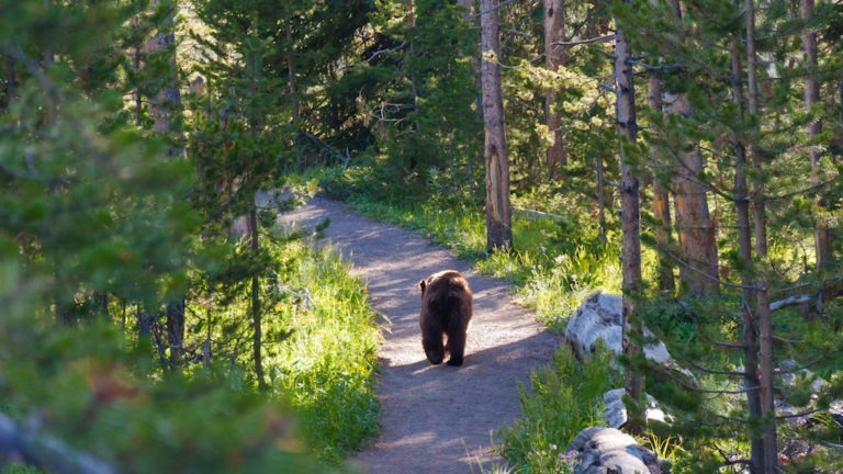 A grizzly walking away on a path in the Yellowstone national park